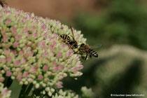 """Eine Biene und eine Wespe auf """"Fetter Henne"""""""
