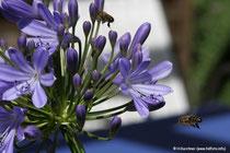 Bienen im Anflug auf Blüte