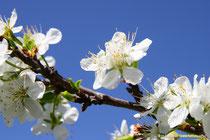 Zwetschgenblüten (Prunus domestica subsp. domestica)