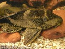 Glyptoperichthys cf. gibbiceps, Wabenschilderwels, im Bestand, Foto: AQUATILIS, Peter Jaeger