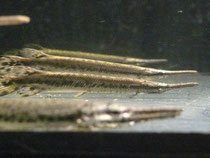 Lepisosteus oculatus, gefleckter Knochenhecht, im Bestand