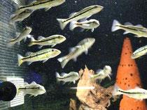 Cichla temensis, im Stock, Foto: Aquatilis, Peter Jaeger