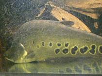 Chitala ornata, 52 cm