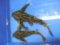 Megaladoras irwini, Schneckendornwels, 22 + 28 cm, im Bestand, Foto: Aquatilis, Peter Jaeger