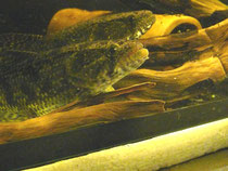 Hoplias malabaricus, Tigersalmler, kleiner Trahira, Wolfsfisch, im Bestand