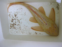Glyptoperichthys cf. gibbiceps, Wabenschilderwels, Albino, 39 cm, Ausnahmegröße, Foto: AQUATILIS, Peter Jaeger