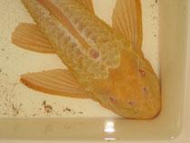 Glyptoperichthys cf. gibbiceps, Wabenschilderwels ,Albino, 39 cm, Ausnahmegröße, Foto: AQUATILIS, Peter Jaeger