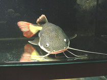 Phractocephalus hemiolipterus, Rotflossen Antennenwels, 55 cm, verkauft, Foto: AQUATILIS, Peter Jäger