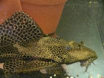 Liposarcus pardalis, Leopard-Segelschilderwels,  im Bestand, Foto: AQUATILIS, Peter Jaeger