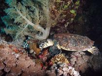Schildkröte und Weichkoralle