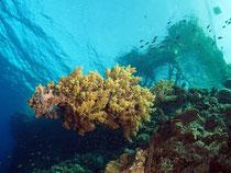 riesige Weichkoralle am Big Brother Island (Überwasser: der Anleger)