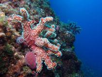Gr. Meerhand, Insel Prvic bei Krk, Kroatien