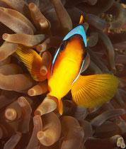 Rotmeer-Clownfisch