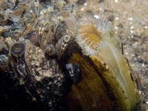 Gemeine Teichmuschel o. Schwanenmuschel (anodonta cygnea) mit Dreikantmuscheln o. Wandermuschel (Dreissena polymorpha)