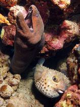 Muräne und aufgepumpter Igelfisch
