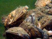 Dreikantmuscheln o. Wandermuschel (Dreissena polymorpha)