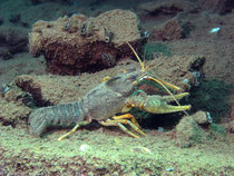 Sumpfkrebs (astacus leptodactylus)