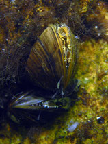 Wandermuschel (dreissena polymorpha)