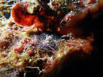 Zotten-Strudelwurm (thysanozoon brochii)