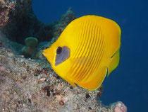 Masken-Falterfisch