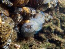 Süsswassermoostierchen  ( cristatella mucedo )