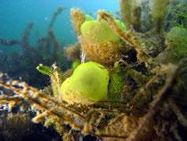 Grünes Gallertkugeltierchen (Ophrydium versatile), Gr. Ammelshainer See
