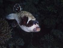 Maskenkugelfisch
