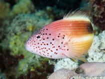 Korallenwächter im Abflug