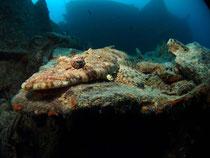 Krokodilfisch an der Thistlegorm