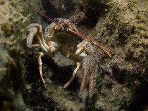 Galizischer Sumpfkrebs (astacus leptodactylus)