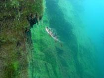 Flussbarsch (perca fluviatilis)