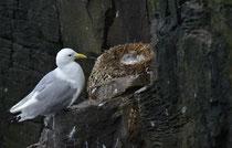 Dreizehenmöwe am Nest mit Jungen, Latrabjarg