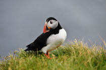 Puffin am Latrabjarg