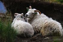 Schafe an der Straße