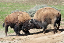 Bisons / Yellowstone National Park, Wyoming