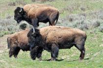 Bisons / Yellowstone National Park, Wyoming