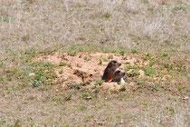 Prairie Dogs, Wyoming