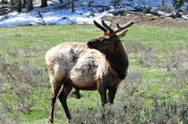Mule Deer / Yellowstone National Park, Wyoming