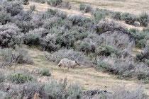Coyote / Yellowstone National Park, Wyoming