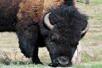 Bison / Yellowstone National Park, Wyoming