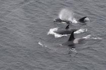 Orcas, Begleitung der ms Zuiderdam