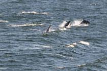 Delfine - Begleiter der Schiffe