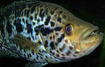 Parachromis managuensis - robust und anpassungsfähig