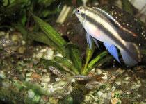 Pelvicachromis pulcher: Männchen mit Jungfischen