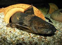 Pseudopimelodus bufonius verlässt sein Versteck.