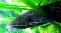 Waller (Silurus glanis) im Unterwasserreich Schrems