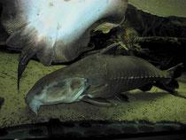 Potamotrygon motoro & Pseudodoras niger