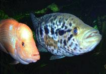 Amphilophus Citrinellus und Parachromis managuensis