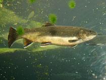 Schönbrunner Tiergarten: Becken mit einheimischen Fischen.