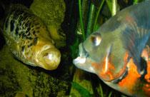 Parachromis managuensis und Astronotus ocellatus: Drohhaltung mit anschließendem Maulzerren